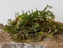 Rêu tản có thể thay thế cần sa y tế trong tương lai