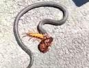 Ấn tượng rết đầu đỏ đại chiến rắn độc to lớn hơn gấp nhiều lần và giành phần thắng