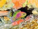 Phát hiện loài cá hoàn toàn mới tại Đại Tây Dương