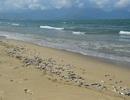 Cá chết trắng bờ biển Đà Nẵng có thể do nổ mìn