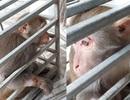 Bỏ tiền mua khỉ vàng quý hiếm về... giao cho kiểm lâm