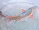 Ngư dân bắt được cá giống cá sủ vàng quý hiếm