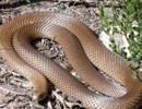 Hết hồn khi thấy rắn độc nhất nhì thế giới dưới tủ lạnh
