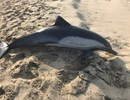 Phát hiện cá heo bị bắn chết trên bờ biển California