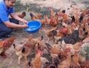 9X cầm bằng đại học sư phạm về quê trồng rừng, nuôi gà