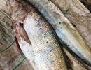 Ngư dân bắt được cá dài hơn 1m, nghi là sủ vàng quý hiếm