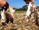 Hai ngày tiêu diệt gần 13.000 con chuột, bán hết cho chính quyền