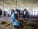 """Sữa tươi sạch TH true MILK A2:  """"Quả ngọt"""" của nông nghiệp công nghệ cao"""
