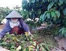 """Dân trồng cà phê """"khóc ròng"""" vì mất mùa, """"khát"""" nhân công"""