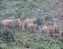 Đánh trống khua kẻng xua đuổi 4 con voi rừng phá hoại cây cối