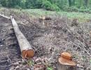 """Nhức nhối tình trạng công khai """"xà xẻo"""", lấn chiếm đất rừng tại Quảng Trị!"""