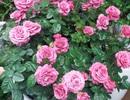 """Chuyên gia """"mách"""" cách để hoa hồng nở rộ đúng ngày Tết"""