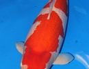 Cá Koi - Quốc ngư xứ mặt trời mọc phá kỷ lục với giá gần 2 triệu USD