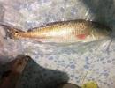 Ngư dân rao bán cá nặng 4,5 kg nghi sủ vàng quý hiếm