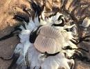 Xác sinh vật kỳ dị xúc tu đen ngoằn ngoèo khiến người dân Australia lo ngại