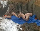 Gần 100 con lợn bệnh bị bắt khi đang trên đường đi tiêu thụ