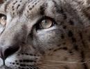 Sở thú ở Anh giải thích quyết định giết chết báo tuyết sổng chuồng