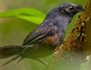 Sau 23 năm lại tìm thấy loài chim sẻ hiếm nhất thế giới