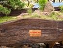 Ngỡ ngàng ngắm bộ ba cây cảnh được hét giá hơn 2 tỷ đồng