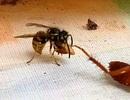 Sốc khoảnh khắc gián bị ong bắp cày cắt đứt đầu trong cuộc chiến