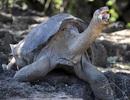 Vì sao cá thể rùa khổng lồ Pinta cuối cùng sống đến 100 năm?
