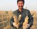 """Thu hàng tỷ đồng mỗi năm nhờ trồng """"nhân sâm của sa mạc"""""""