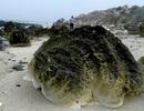 """Quảng Ngãi: Phát hiện """"nghĩa địa"""" san hô hóa thạch 6.000 năm"""