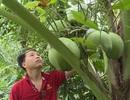 Vĩnh Long: Giảng viên trẻ thành công với nghề trồng dừa dứa hồ lô