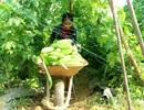 Nông dân hối hả thu hoạch rau quả phục vụ Tết