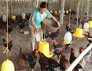 Cuối năm: Kiếm hàng trăm triệu nhờ nuôi gà... dưới đệm lót sinh học