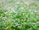 Cận cảnh vườn hoa tam giác mạch trên Cao Nguyên
