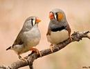 """Chim uốn cong cơ thanh âm và """"mơ hót"""" trong khi ngủ"""