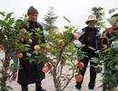 """Phát """"sốt"""" với táo cảnh bonsai giá 3 triệu đồng/chậu ở Hà Nội"""