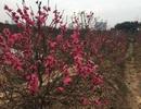 Hoa đào đồng loạt khoe sắc, nhà vườn tấp nập dọn vườn, đón Tết