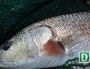 """Câu được 6 con cá """"lạ"""" nghi là sủ vàng quý hiếm ở Cam Ranh"""