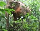 Điều tra việc con voi khoảng 40 tuổi chết trong rừng