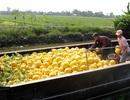 Trồng dưa hấu bán Tết, nông dân lãi trăm triệu