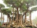 """Đại gia Hà Nội chi 5 tỷ """"mua đứt"""" cây sanh nổi tiếng bậc nhất Việt Nam"""
