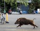 """Nỗi ám ảnh lợn rừng """"đổ bộ"""" các thị trấn ở Nhật Bản"""