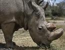 Cá thể tê giác trắng Bắc Phi đực cuối cùng trên thế giới đã qua đời