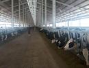 Khánh thành trang trại bò sữa sử dụng hệ thống robot đẩy thức ăn tự động