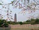 Hoa anh đào khoe sắc tuyệt đẹp trong ngôi chùa lớn nhất Việt Nam