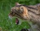 Phát hiện loài mèo hoang dã lớn ở rừng Aberdeenshire