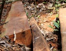 Rừng phòng hộ liên tiếp bị hạ sát: Dứt khoát xử lý cán bộ dù đau đớn!