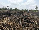 Nông dân đốt mía vì không ai mua