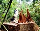 Khan hiếm gỗ nhập khẩu nên xảy ra nhiều vụ phá rừng?