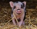 Trung Quốc tạo ra lợn thí nghiệm của bệnh Huntington