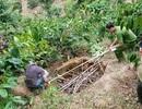 Truy tố kẻ bị cáo buộc giết chủ nợ chôn xác phi tang trong rẫy cà phê