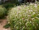 Mê mẩn vẻ đẹp của cánh đồng hoa tam giác mạch ngay giữa Hà Nội