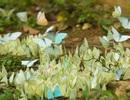 Mùa bướm trắng bay rợp trời ở vườn quốc gia Cúc Phương